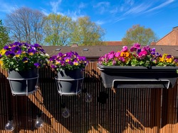 Decorative flower pots with spring flowers viola cornuta in vibrant violet, pink and yellow color hanging on a brown balcony fence, colorful pansies in the garden on the balcony