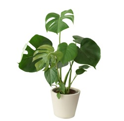 Decorative fresh Monstera deliciosa tree planted in a white ceramic pot isolated on white background. Fresh Swiss Cheese Plant with large glossy green leaves.
