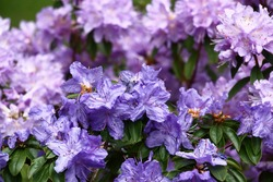 Decorative garden. Two bushes of a rhododendron plentifully blossom nearby. Their flowers create a background in violet, blue, purple tones.