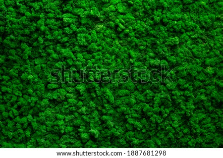 Decorative green  moss used for interior design as creative background, decoration of modern living and office spaces, natural texture of reindeer moss. Wall with lichen Cladonia rangiferina
