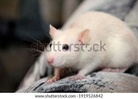 decorative home rat close-up. Fancy rat  Foto stock ©