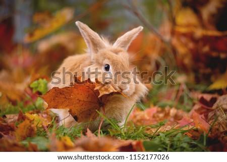 Decorative little rabbit in autumn in maple leaves