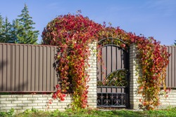 Decorative metal fence with a gate entwined with red leaves of wild grapes