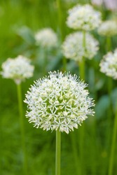 Decorative onion blooms in white. White flowers of a decorative onion