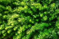 Decorative ornamental green Yew bush in front yard landscaping, evergreen, needles, spindly, perennials, forest, hedges, landscaping, shrubbery