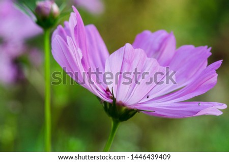 Decorative Pink Blossom Of The Garden Cosmos, Cosmos Bipinnatus, Cosmos, Cosmea Bipinnata, Bidens Formosa; Mexican Aster In A Horizontal Format Seen Closeup