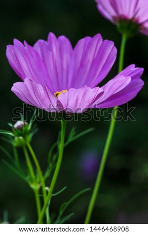Decorative Pink Blossom Of The Garden Cosmos, Cosmos Bipinnatus, Cosmos, Cosmea Bipinnata, Bidens Formosa; Mexican Aster In A Horizontal Format Seen As A Closeup