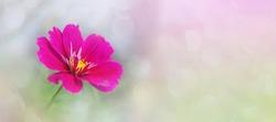 Decorative Pink Garden Flower Cosmos, Cosmos Bipinnatus, Cosmea Bipinnata, Bidens Formosa. Mexican Aster. close up. Copy space