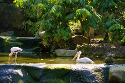 Decorative pond in a park of birds. A cormorant swims in a pond and a milk stork hunts.