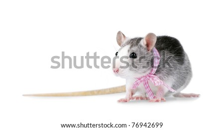 Decorative rat with pink ribbon isolated on white background