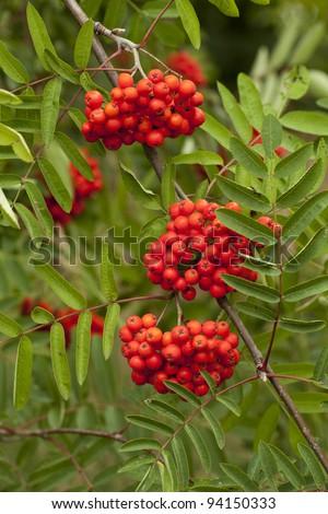 decorative red  fruit of a rowan tree