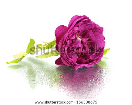 Decorative rose flower on a white background with water drop