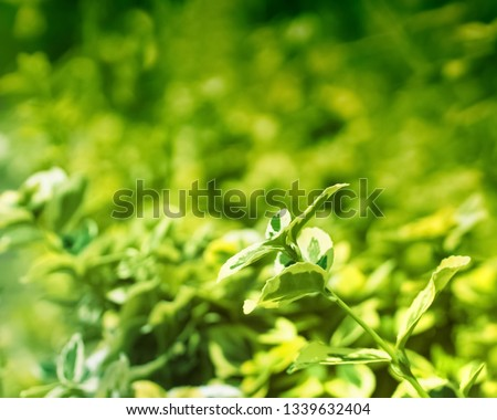 decorative shrub in the park. branch of ornamental shrubs on the background of greenery. #1339632404