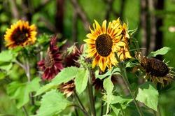 Decorative sunflower illuminated by the sun