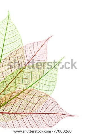 Decorative transparent skeleton leaves showing details of veins, isolated on white background