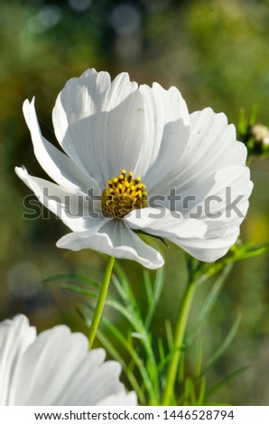 Decorative White Blossom Of The Garden Cosmos, Cosmos Bipinnatus, Cosmos, Cosmea Bipinnata, Bidens Formosa; Mexican Aster In A Horizontal Format Seen As A Closeup