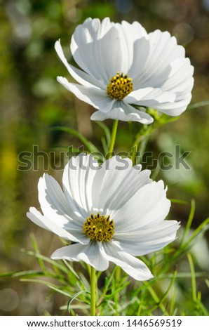 Decorative White Blossoms Of The Garden Cosmos, Cosmos Bipinnatus, Cosmos, Cosmea Bipinnata, Bidens Formosa, Mexican Aster In A Portrait Format Seen Closeup