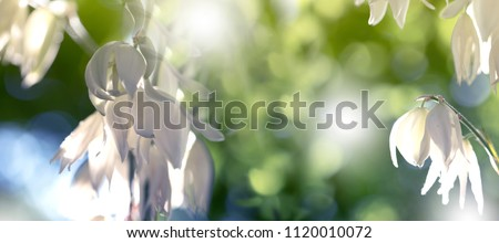 Decorative yucca plant. flowers of yucca. Blooming Yucca bush. Yucca bushes in bloom. Gardening Theme. - Shutterstock ID 1120010072