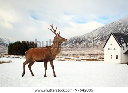 Dee Stag visiting hotel on a snow covered Glencoe landscape in the Scottish highlands