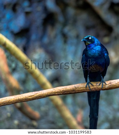Deep Blue Plumage on a Blue Long Tailed Glossy Starling Perched on a Branch #1031199583