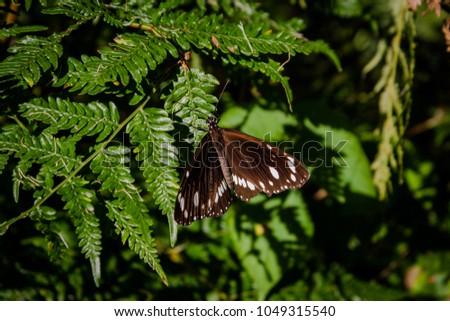 Deep brown butterfly #1049315540