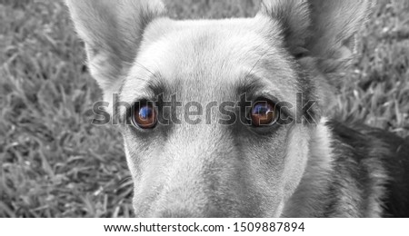 Deep brown eyes of a German Shepard dog #1509887894