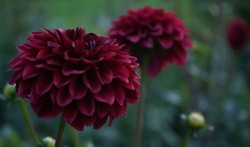 Deep burgundy dahlia bloom (formal decorative type) against a background of other dahlias and foliage,beautiful flowers,close-up.