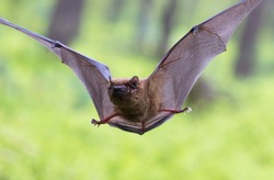 Deep flying bat in green forest