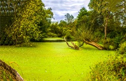Deep forest swamp duckweed green water landscape