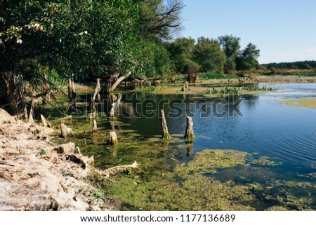 Deep forest swamp duckweed green water landscape. Forest swamp duckweed water view. Swamp forest green duckweed water scene. Mysterious morning time in swamp area Foto d'archivio ©