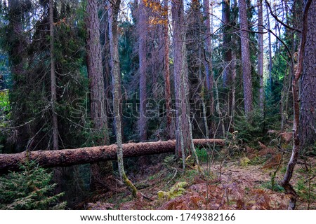 Deep forest trees wilderness scene. Wilderness forest view. Deep wilderness forest trees background