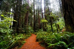 Deep in the woods of California Redwoods