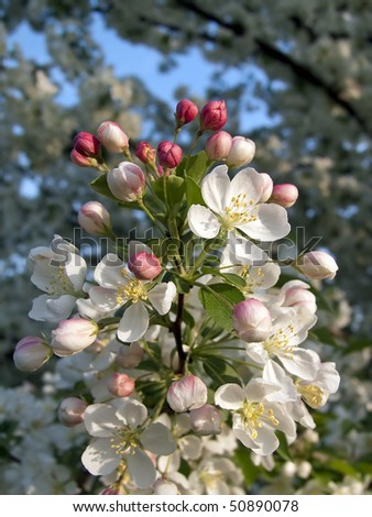 Deep pink crab apple tree flower buds open into bright white blossoms.
