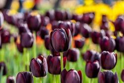 Deep purple flowers of Tulipa 'Queen of Night' Tulips