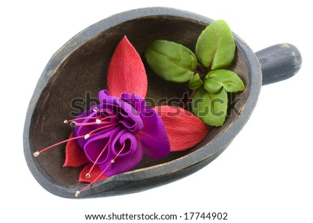 deep purple fuchsia flower with green leaves in a small, wooden, primitive, dark painted scoop, isolated on white