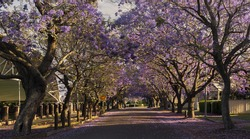 Deep purple Jacaranda trees flowering in Raymond Terrace, Port Stephens, Australia.