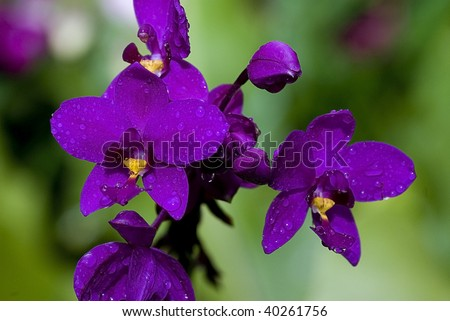 Deep purple orchids with water drops, Singapore botanical garden