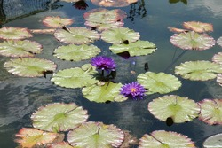Deep purple water lily flowers and lily pads floatin in a large pond in the summer