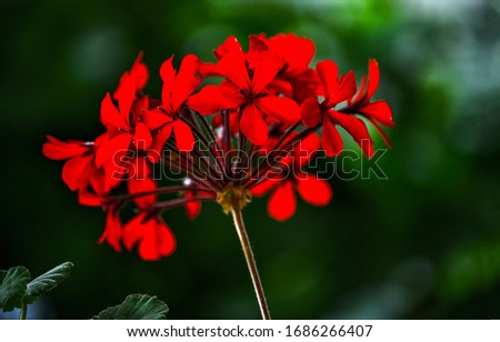 Deep red flower dark background. Dark red flowers macro scene. Red flowers close view. Red flowers on dark background