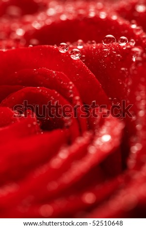 red rose flower background. red rose flower background