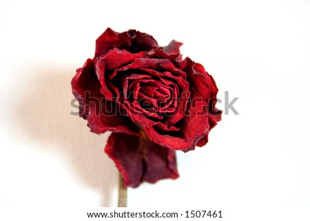 red rose flower background. red rose flower background.