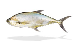Deep sea fish isolated on white background,Talang queenfish swimming,popular in gamefish