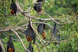 Deep sleep of Bat Lyle's flying fox (Pteropus lylei)