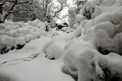 Deep snow after daylong snowfall on moorland smallholding garden covers shrubs and plants in Nidderdale.
