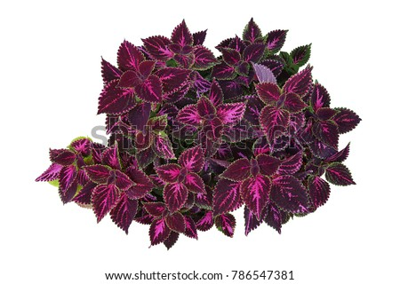 deep violet leaves with bright...
