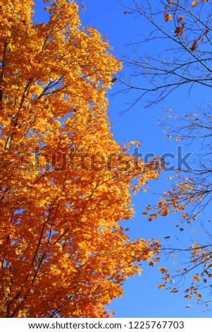 Deeply saturated, colorful orange leaved tree against a deep blue sky on a sunny Fall day in South Carolina. #1225767703