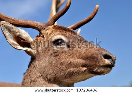 deer #107206436