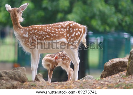 Deer and cute fawn - entitled My mother my shelter