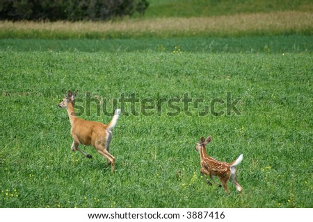 Deer and fawn running in a green field