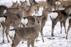 Deer and hind in winter, Lithuania